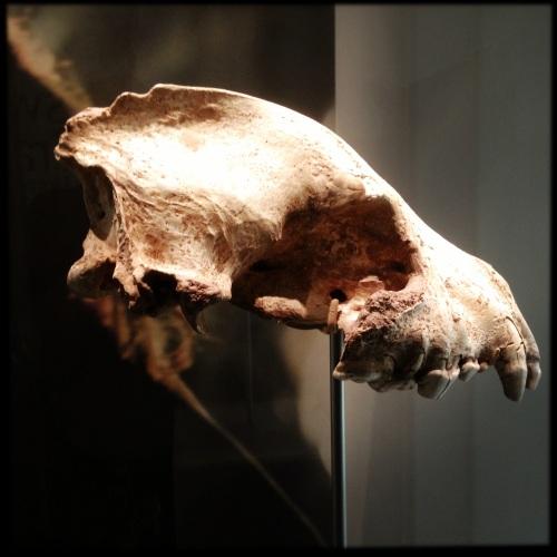 Creswell CragsLion Skull